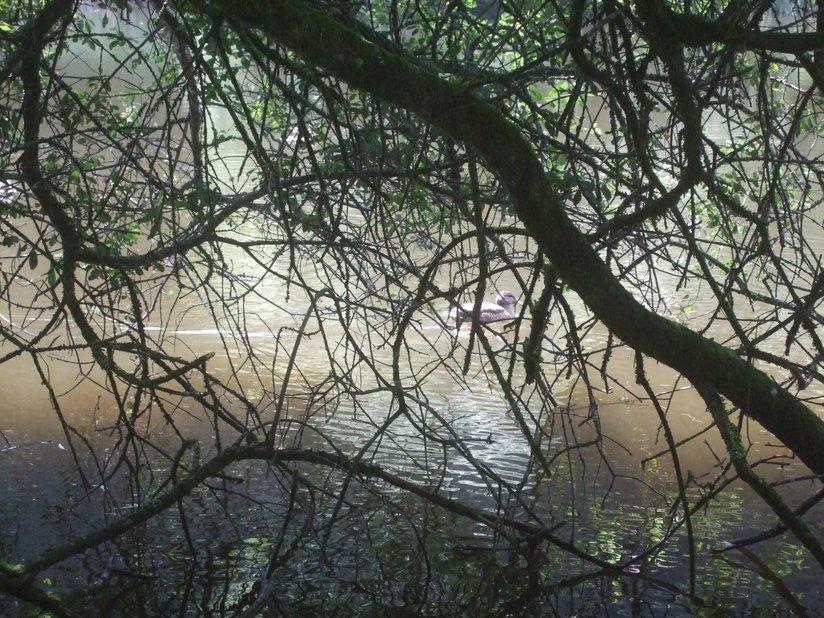 Branches donnant sur l'étang de Kergoff 2012