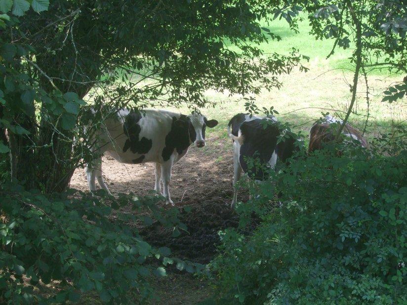 Vaches dans un champ le long du canal de Nantes à Brest entre Malestroit et le Roc-Saint-André