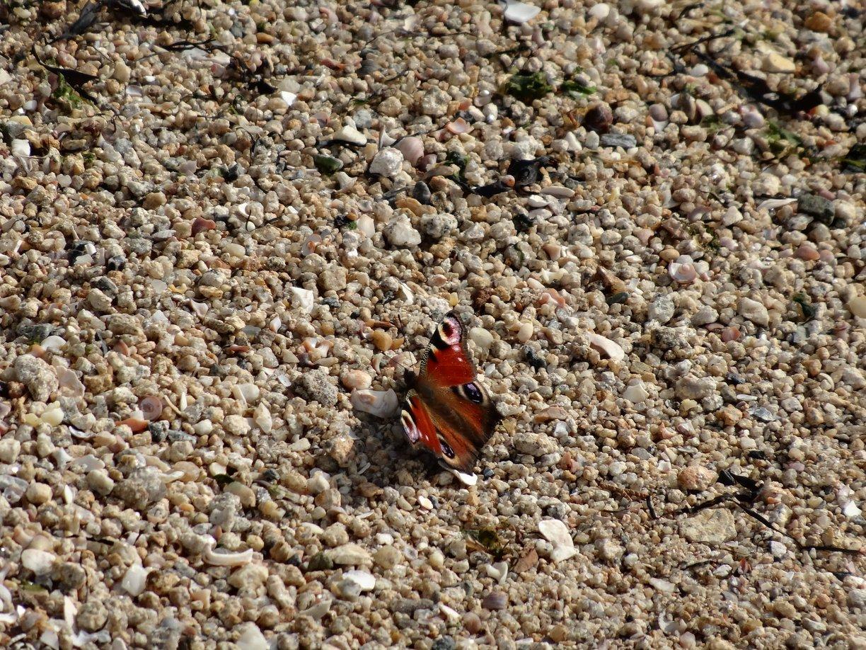 Papillon Locmiquélic