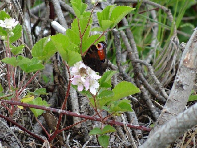 Papillon Port de Foleux (Béganne)